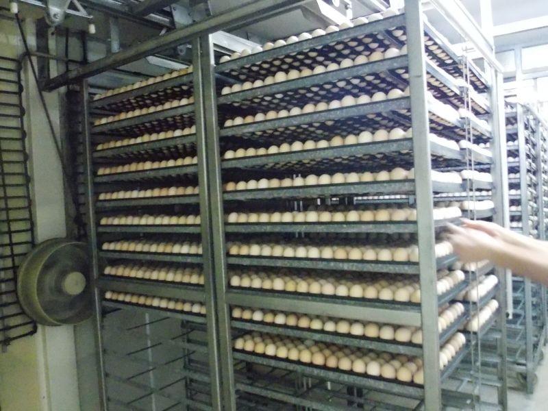 Proizvodnja konzumnih jaja, pilića i odgoj matičnih jata
