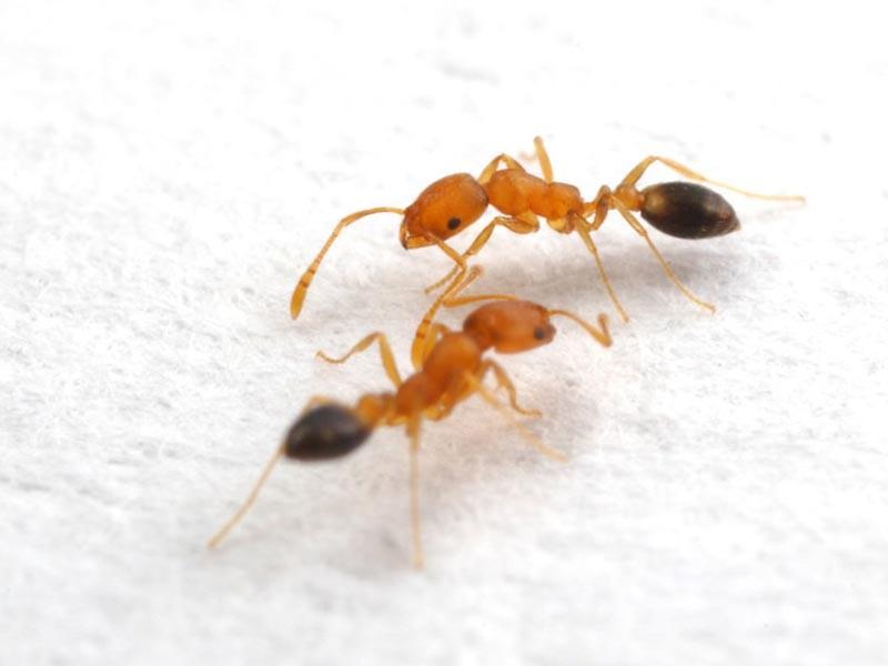 Žuti mravi- problem stambenih zgrada