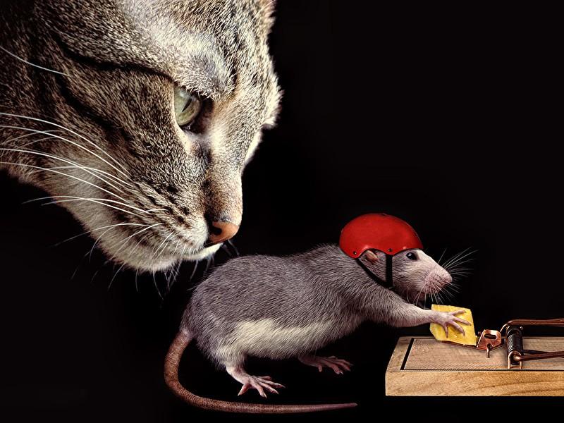 Kako uništiti pacove?