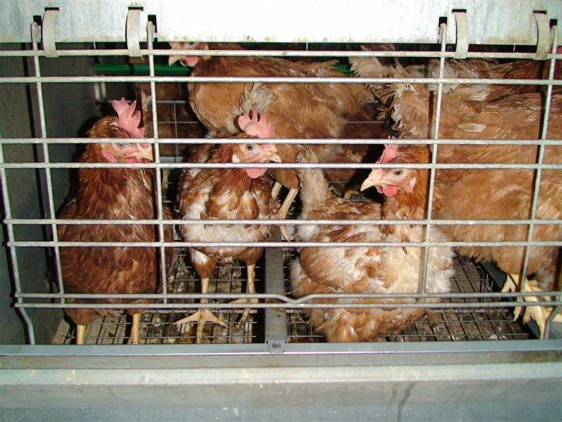 Isa Brown - Kavezni sistemi za proizvodnju kokošaka