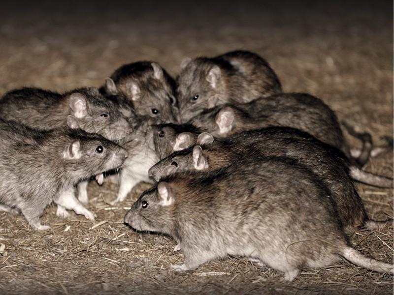 Uništavanje štetočina (miševa i pacova)