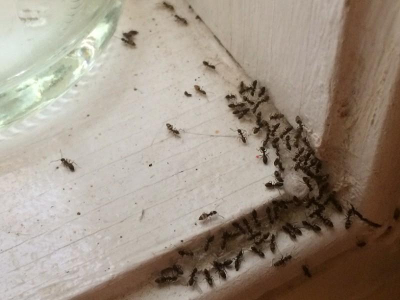 Kako uništiti mrave u kući?