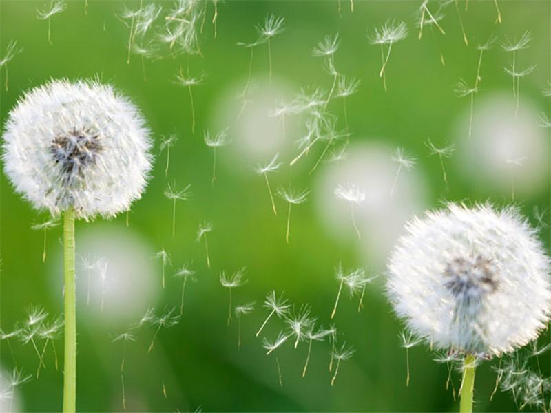 Alergija na polen i kako je pobediti
