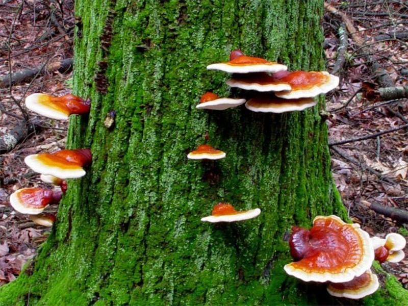Reishi gljiva ili hrastova sjenica lekovita gljiva sa istoka