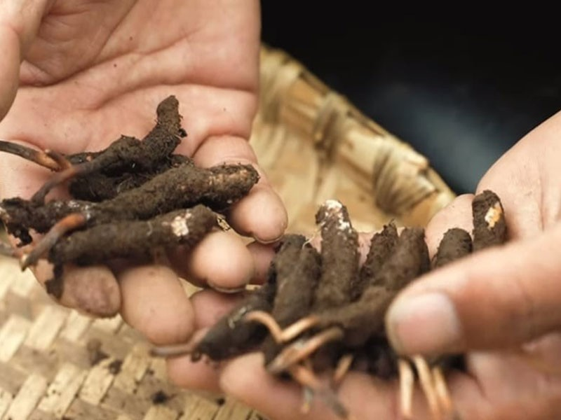 Cordyceps gljiva - tibetanski koren vitalnosti
