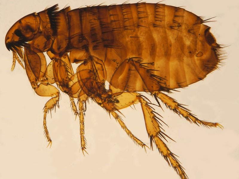 Dosadne buve kao vektori zaraznih bolesti