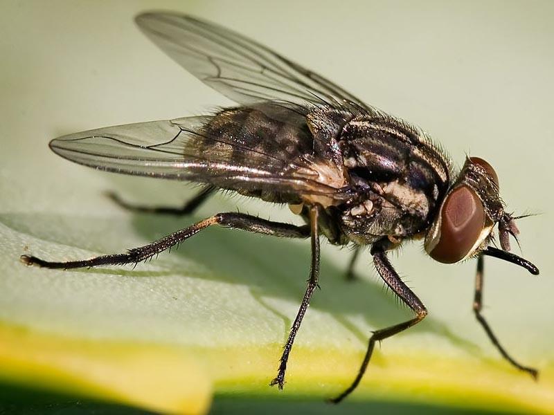 Muve kao štetočine i kao prenosioci zaraznih bolesti
