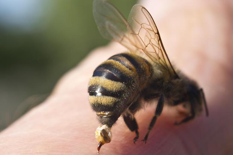 Ubod pčele