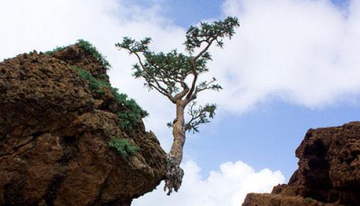 Tamjan drvo
