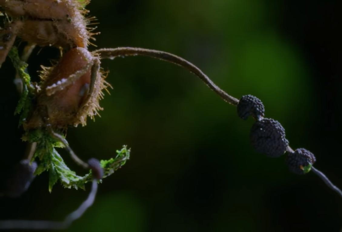 Kordyceps gljiva pro100healthy cordiceps sinensis srbija Hawlik