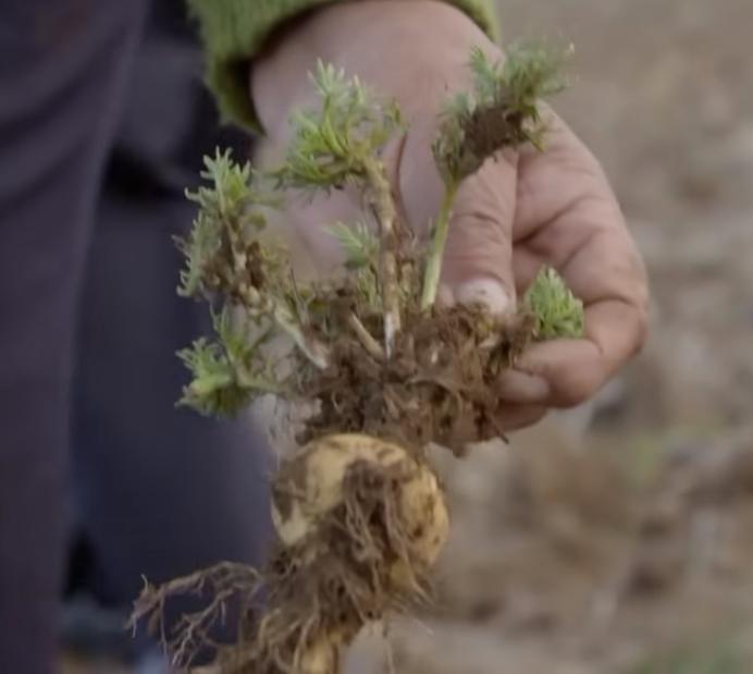 Peruanska bio-maka pro100healthy