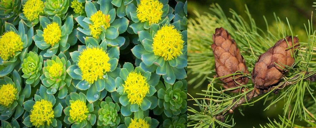 Biljke u borbi protiv koronavirusa