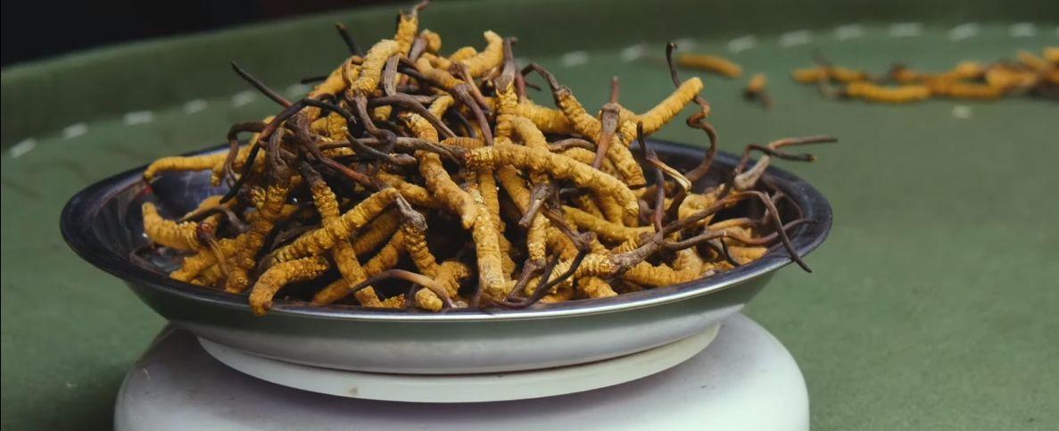 Kako Cordyceps gljiva utice na zdravlje?